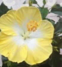 Giant Hibiscus Flowers Seeds (Light. Yellow/White) Qty. 20 Seeds