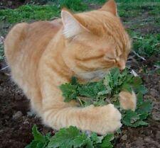 Catnip 250 seeds Nepeta Cataria * Grow your own cat treat * CombSH D74