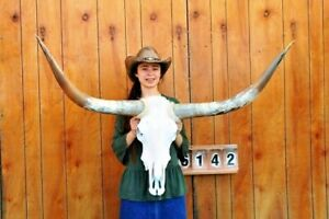STEER-SKULL-LONG-HORNS-MOUNTED-4-039-5-034-COW-BULL-TAXIDERMY-LONGHORN-H6142