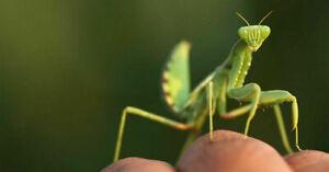 2 Egg Cases Praying Mantis 100 400 Babies Hatching Habitat