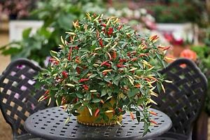 Chilli Seeds  Basket Of Fire x 25 - <span itemprop='availableAtOrFrom'>Huntingdon, Cambridgeshire, United Kingdom</span> - Chilli Seeds  Basket Of Fire x 25 - Huntingdon, Cambridgeshire, United Kingdom