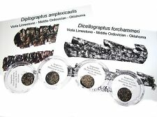 Ordovician matrix free etched graptolite specimens in microscope capsule display