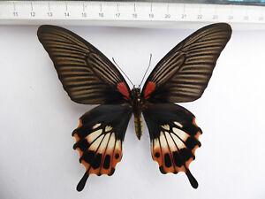Papilio-memnon-ssp-distantianus-Weibchen-ex-North-Thailand-n20a