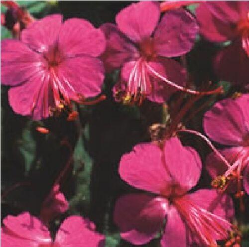 Flower Geranium Macrorrhizum Czakori 15 Seeds