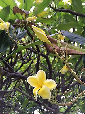 MAUI GOLD CUTTING PLUMERIA CUTTING RARE 8-12 VERY EASY TO ROOT