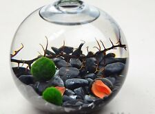 Cool Marimo Moss Balls 0.25inch (0,6cm) Cladophora Live Plant Aquarium in USA