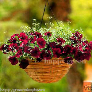 Se-arrastra-Petunia-Terciopelo-Borgona-F1-supercascade-12-semillas