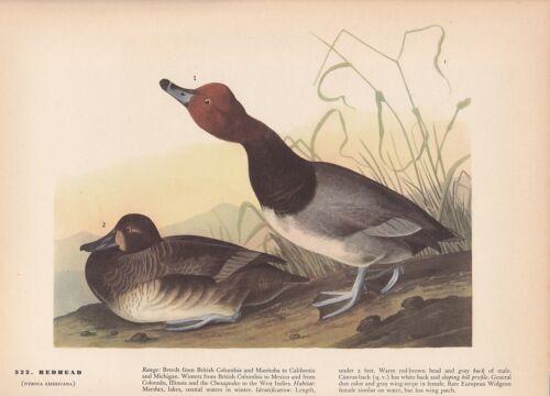 """1942 Vintage AUDUBON BIRDS #322 /""""REDHEAD/"""" DUCKS Color Art Plate Lithograph"""