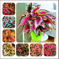 100 Pcs Japanese Bonsai Coleus Seeds Foliage Plants Color Rainbow Dragon For Sale Online Ebay