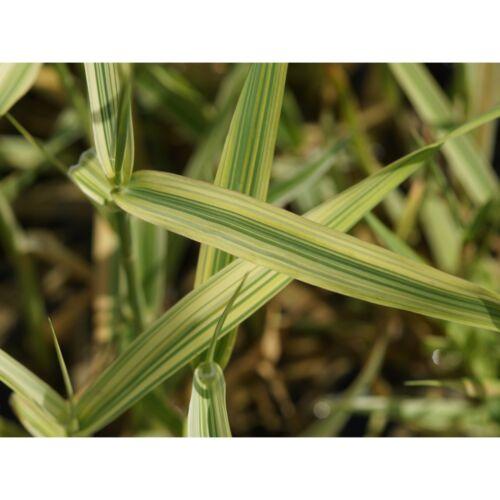 buntblättriges-Brut Blumixx vivaces Phalaris arundinacea /'picta/'