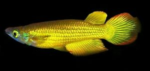 10 (dix) X Aplocheilus Lineatus    (killifish)  or