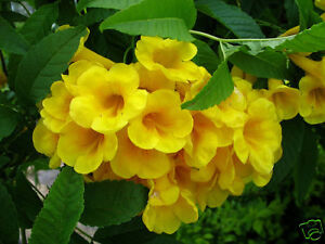 10-graines-TROMPETTE-D-039-OR-Parfumee-Tecoma-Stans-G334-YELLOW-BELLS-SEEDS-SEMILLAS