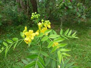Privet-Wild-Sensitive-Plant-Senna-ligustrina-30-Seeds