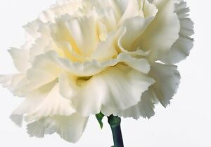 White-Carnation-Flower-100-SEEDS-BUY-4-ITEMS-FREE-SHIPPING