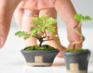 100 Seeds Phyllanthus niruri,maintain,rare Thai herb