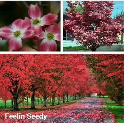 10 RED FLOWERING DOGWOOD (Cornus Sericea) SEEDS.