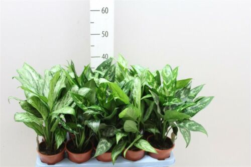 50 Seeds Aglaonema Flowers Rare Kinds Bonsai Plants Potted in Home Decor Garden