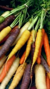 Amical Zanahoria Mezcla De Colores 1000 Semillas Frescas Bonne RéPutation Sur Le Monde