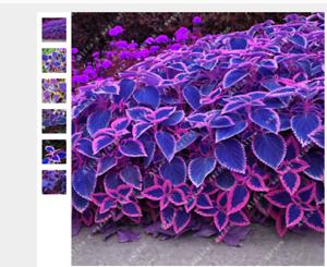 100seeds MIX Blue Coleus Blumei Pink Edge Beautiful Unique Perillic Foliage Herb
