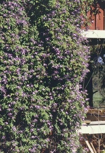 Vine Blue Alpine Clematis 15 Seeds