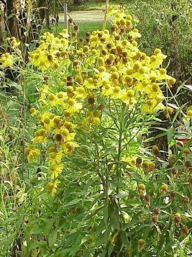 """Sonnenbraut Helenium autumnale 100 Samen /""""ALLES NUR 1EURO/"""""""