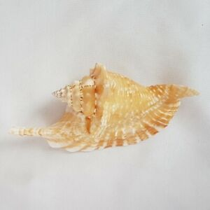 Strombus-Gallus-Seashell-130MM-Shell-ST1
