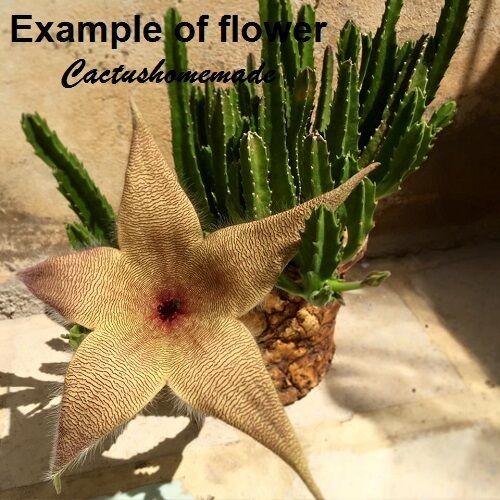 Stapelia Asclepiadaceae Stapelia gigantea Apocynaceae Huernia