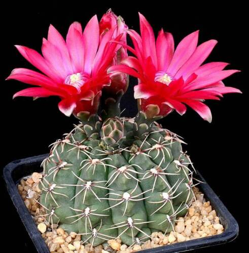 Gymnocalycium Baldianum 20 SEEDS Very Rare Cactus Succulent Plant Samen  Korn