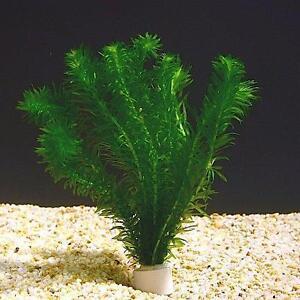 Pianta piante vera acquario laghetto egeria elodea densa for Acquario laghetto