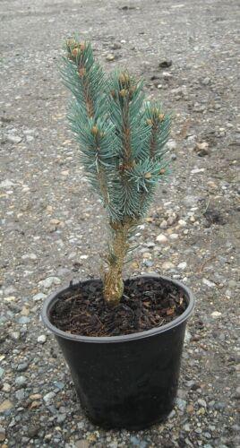 Picea pungens Iseli fastigiate-greffés en 1.5 L pot Bonsai sujet