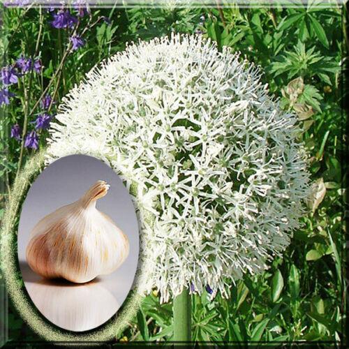 Mount Everest Allium Live Plant Bulb 5 Allium Bulb