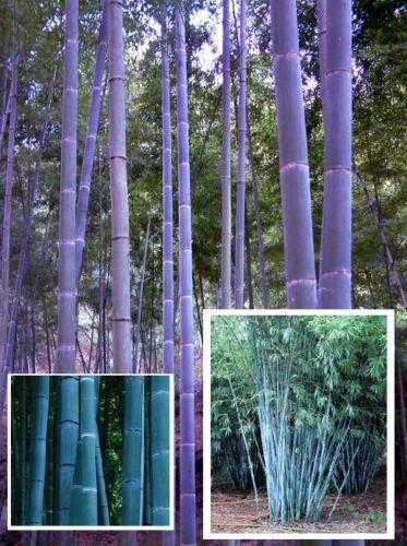10°  I frische  Samen Blauer Bambus Bambusa textilis winterhart bis etwa