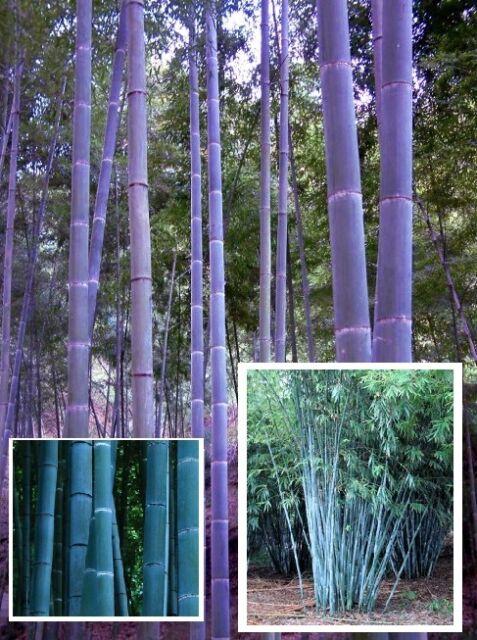 Blauer Bambus  auch für Bonsai schön frostharter Baum schnellwüchsige Ziergräser