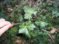 English Ivy green 4 - 2 ft strips with roots just cover w/ soil enjoy outdoor