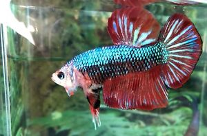 """betta fish male Giant Red Wash Size 2 1/4"""""""
