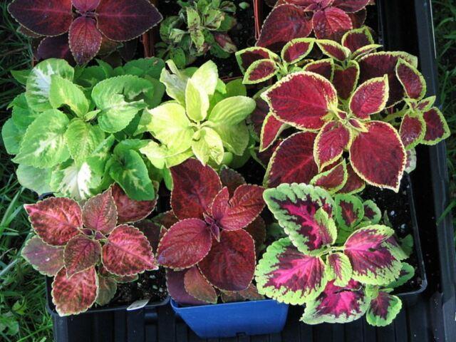 Seeds Rare Coleus Flowers Perennial Handing Garden Organic Beautiful Ukraine