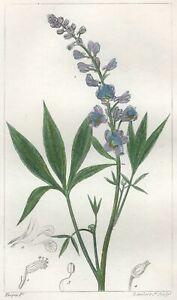 Decoration-Botanique-Fleur-Staphisaigre-Gravure-Pierre-Jean-Francois-Turpin