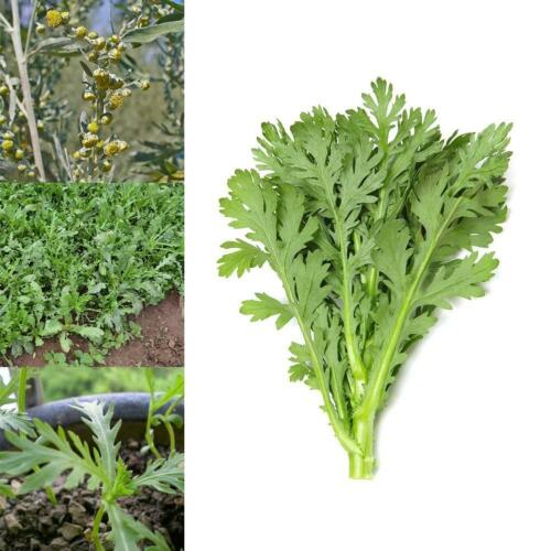 500 pcs-Wormwood Absinthe graines Artemisia Absinthium répulsifs moustiques Z0R1