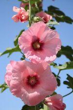 35 Graines de Roses Trémière rose BIO seeds jardin plantes fleurs decorative