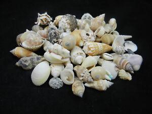 Shell-Lot-Of-Mixed-Indian-Ocean-Sea-Shells-1-Pound-Seashells-Craft-Shells