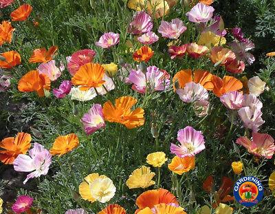500 CALIFORNIA POPPY ORANGE Eschscholzia Californica Flower Seeds