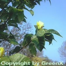 Magnolie Yellow Bird 60-80cm - Magnolia