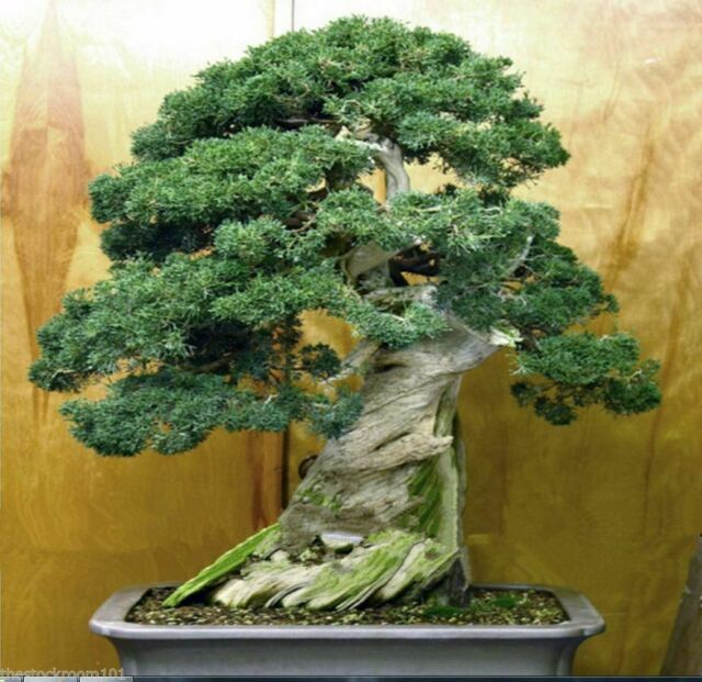 50 Fresh Seeds Chinese Juniper Bonsai Tree Juniperus Chinensis Tree For Sale Online Ebay