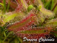 200+ SEMI Drosera Capensis - pianta carnivora tropicale - seeds not plant sundew