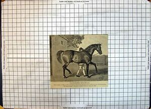 Antique Old Print Race Horse Thoroughbred Stallion Greswe-Williams Thorney