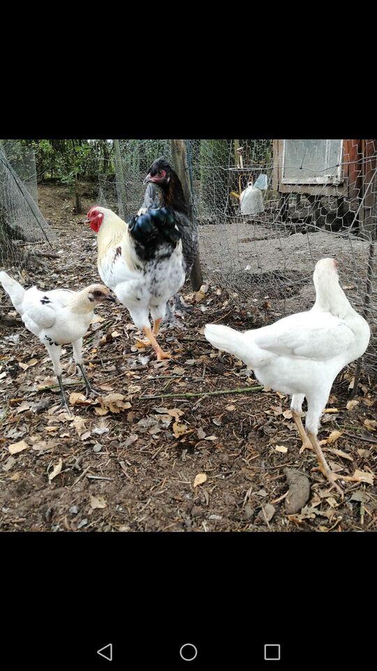 Høns, Mange stk.