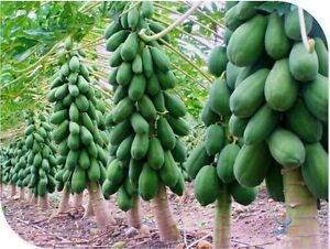 Bonsai Thai Dwarf Papaya Fruit 25 Seeds, Free shipping, Best For Bonsai