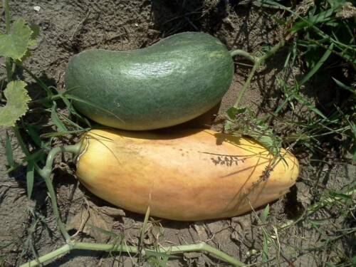 Samen Snap Melon 5 DUFTIG und EXPLOSIV!