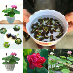 Details About 20pcs Mix Multi Color Bowl Lotus Flower Seeds Water Lily Home Garden Plants New