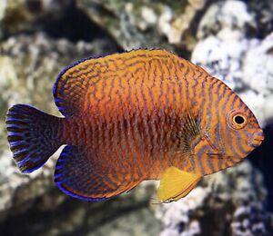 Potter Angelfish Free Shipping Live Saltwater Aquarium Ebay